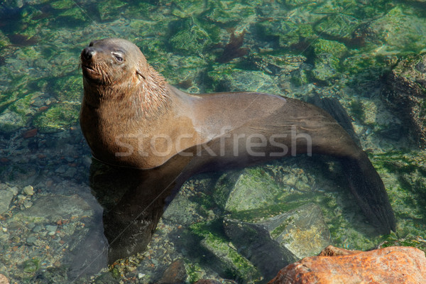 Brown fur seal Stock photo © EcoPic