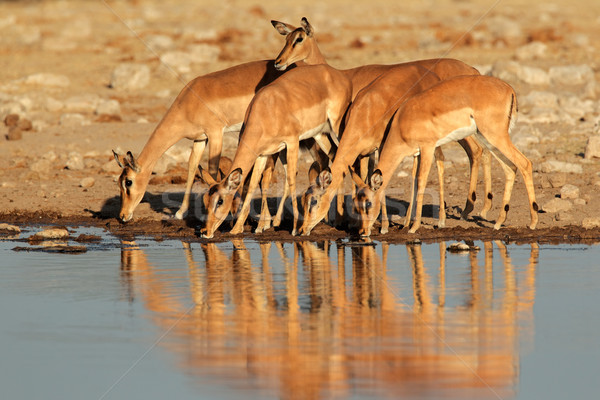 Impala antelopes at waterhole Stock photo © EcoPic