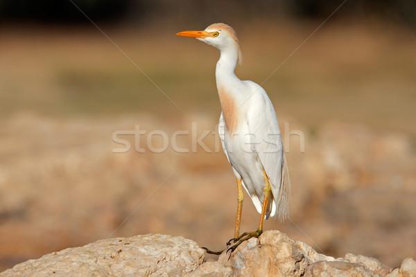 Szarvasmarha kő Dél-Afrika természet madár fehér Stock fotó © EcoPic