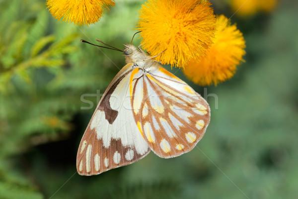 Feeding butterfly Stock photo © EcoPic