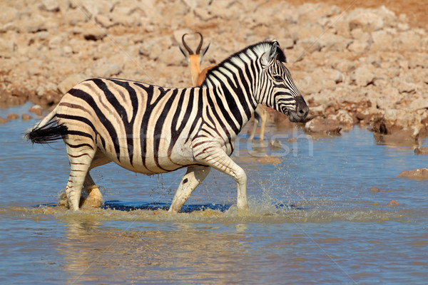 Plains Zebra in water Stock photo © EcoPic