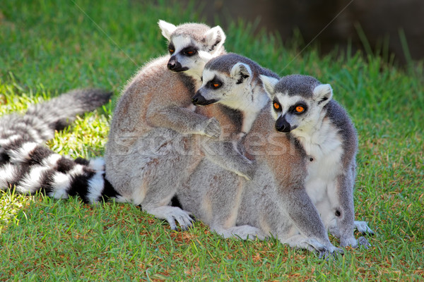 Ring-tailed lemurs Stock photo © EcoPic