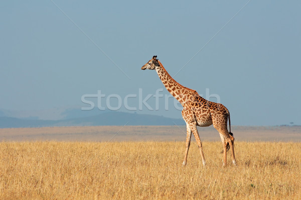 Masai giraffe Stock photo © EcoPic