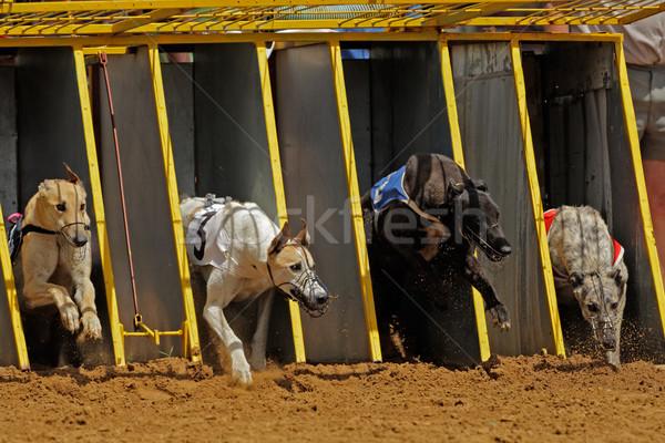 Galgo corrida cão esportes pé acelerar Foto stock © EcoPic