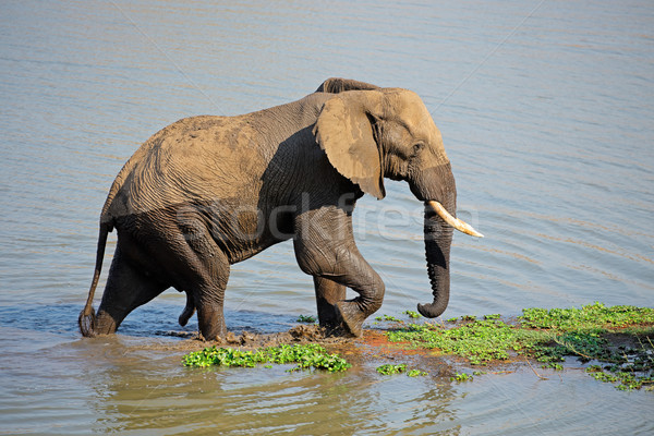 African elephant in river Stock photo © EcoPic