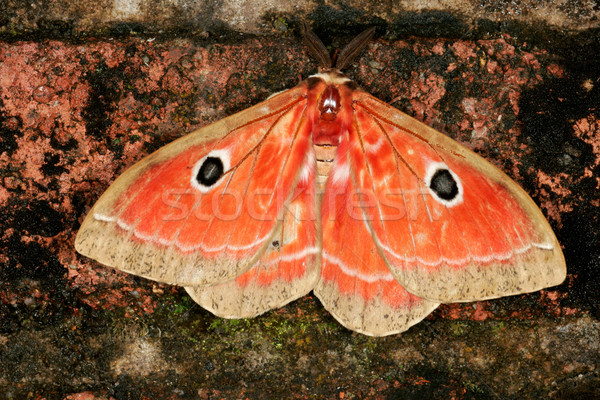 Colorful moth Stock photo © EcoPic