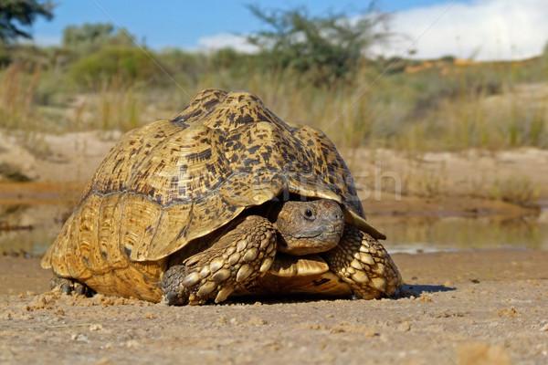 Hegy teknősbéka természetes környezet Dél-Afrika szem Stock fotó © EcoPic