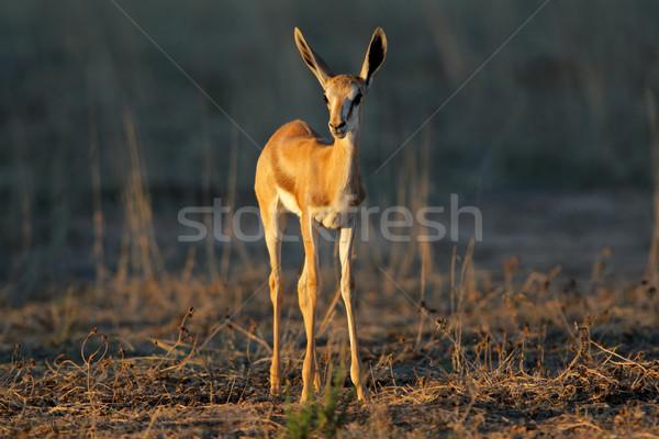 Springbok lamb Stock photo © EcoPic