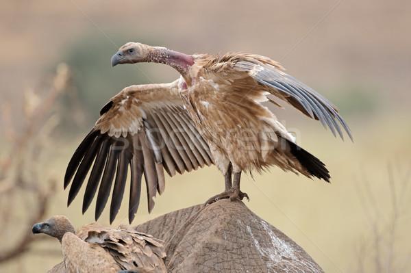 Scavenging white-backed vulture Stock photo © EcoPic