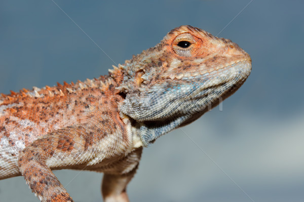 Ground agama portrait Stock photo © EcoPic