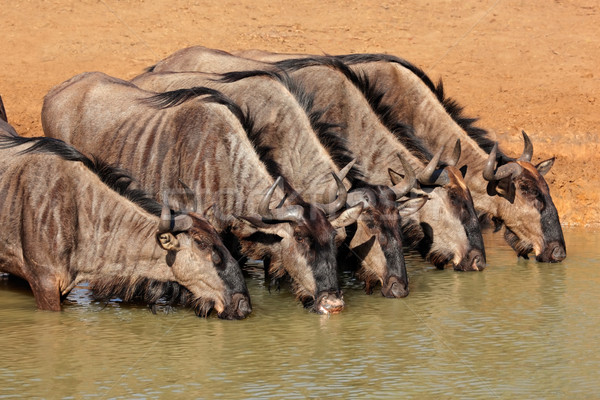 Blue wildebeest drinking Stock photo © EcoPic