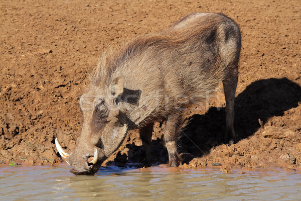 Warthog drinking water Stock photo © EcoPic