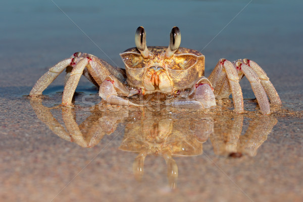 Ghost crab on beach Stock photo © EcoPic