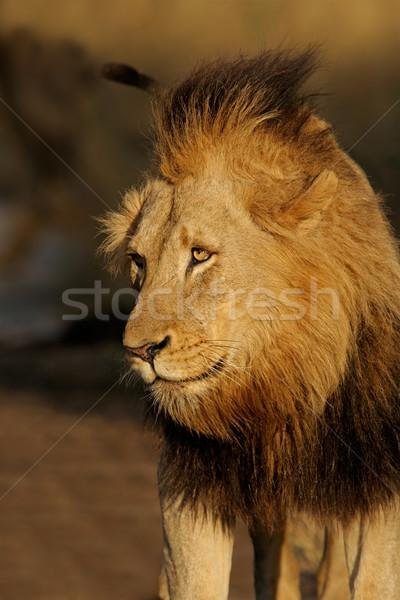 Сток-фото: большой · мужчины · африканских · лев · портрет · природы