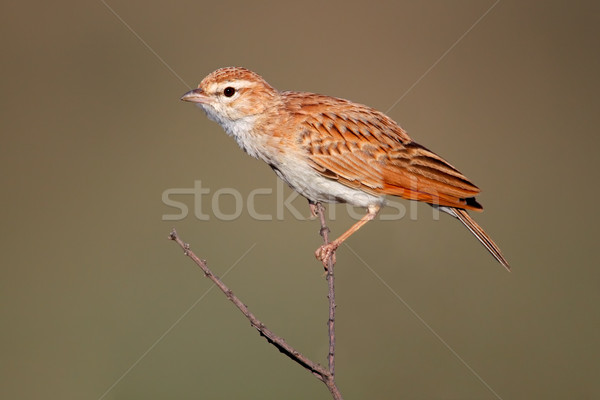 Fawn colored lark Stock photo © EcoPic