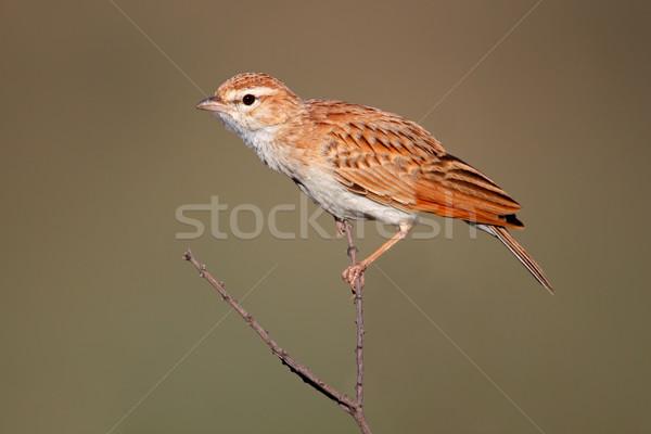 őzgida színes gally Dél-Afrika madár Afrika Stock fotó © EcoPic