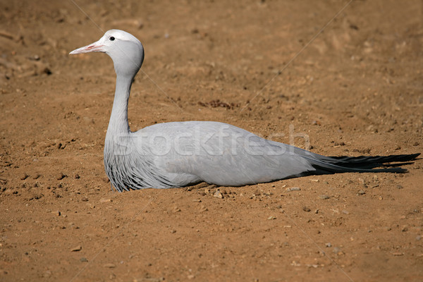 Blue crane Stock photo © EcoPic