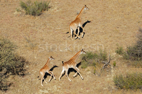 Aerial view of running giraffes Stock photo © EcoPic