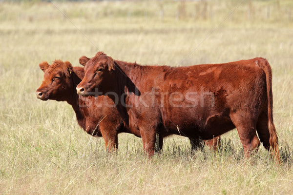 Red angus cows Stock photo © EcoPic