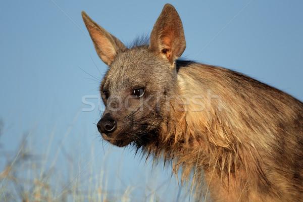 Brown hyena portrait Stock photo © EcoPic