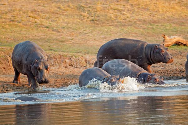 Hipopotam wody grupy uruchomiony Południowej Afryki usta Zdjęcia stock © EcoPic