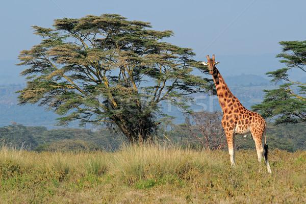 Stock photo: Rothschilds giraffe
