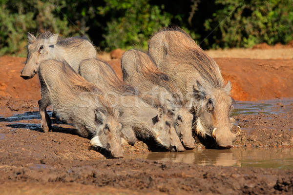Warthogs drinking water Stock photo © EcoPic