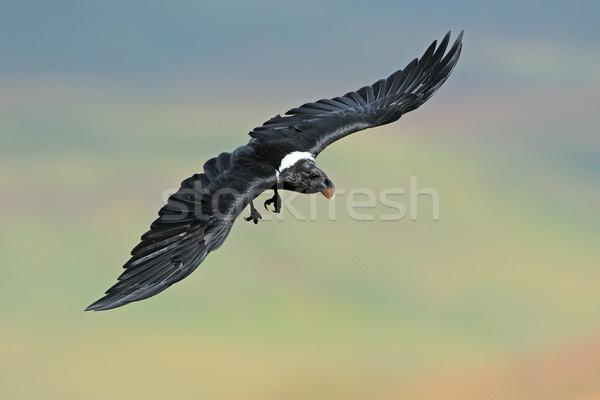 White-necked raven in flight Stock photo © EcoPic
