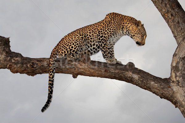 Leopard in tree Stock photo © EcoPic