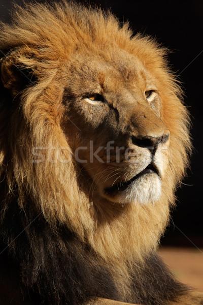 Grande masculina África león retrato negro Foto stock © EcoPic
