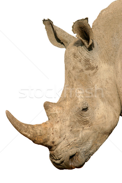 Rhinoceros isolated Stock photo © EcoPic