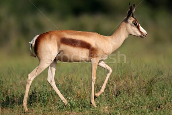 Bronze springbok antelope Stock photo © EcoPic