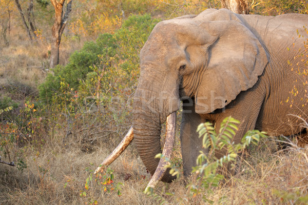 African elephant tusker Stock photo © EcoPic