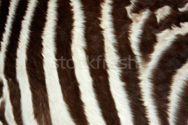 Zebra skin Stock photo © EcoPic
