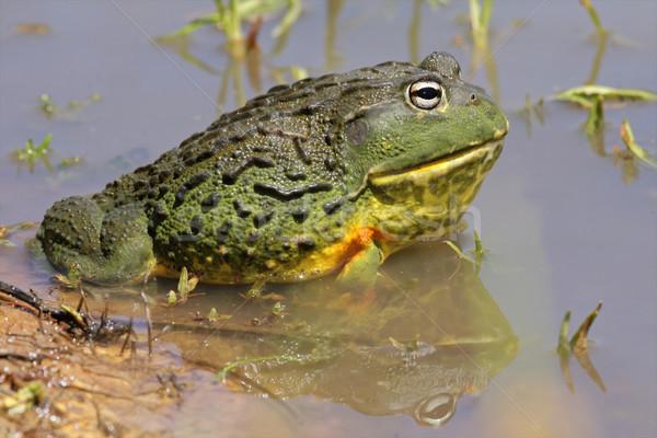 African giant bullfrog Stock photo © EcoPic