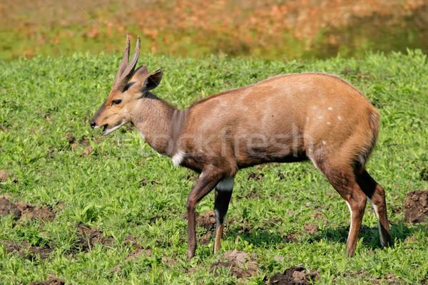 Bushbuck antelope Stock photo © EcoPic