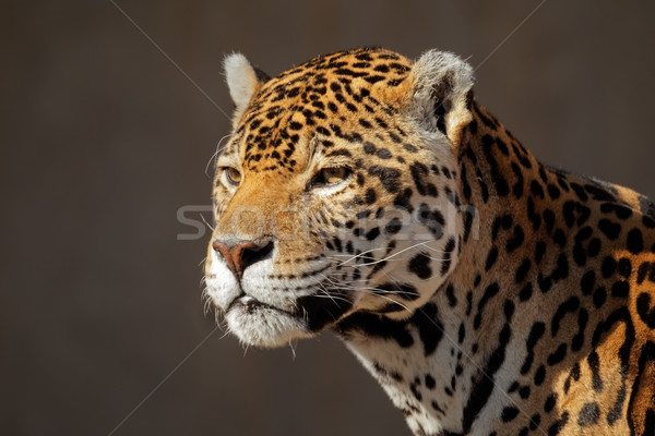 Jaguar портрет мужчины лице природы кошки Сток-фото © EcoPic