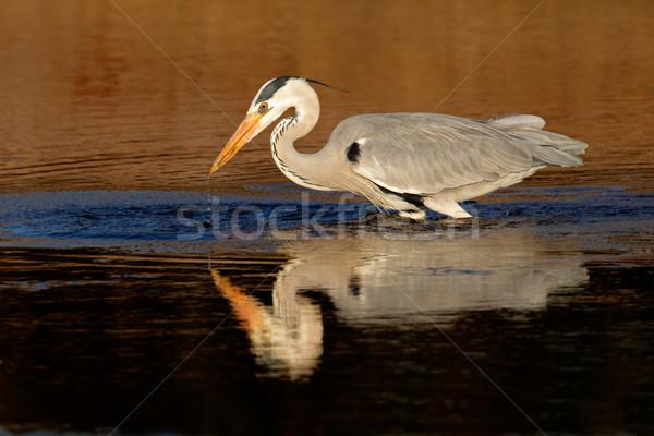 Cinza garça-real água reflexão África do Sul pernas Foto stock © EcoPic