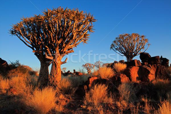 Quiver tree landscape Stock photo © EcoPic