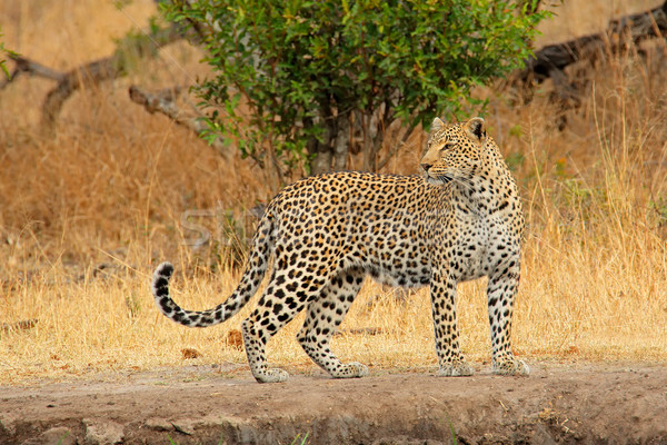 Alert leopard Stock photo © EcoPic