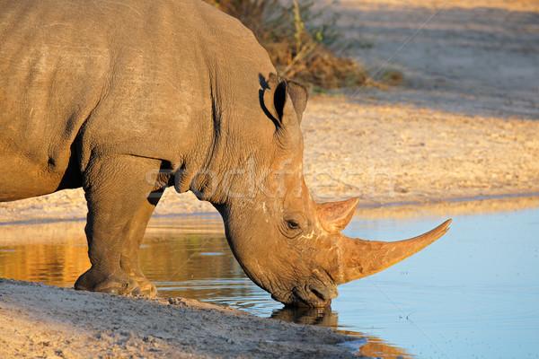 White rhinoceros drinking Stock photo © EcoPic