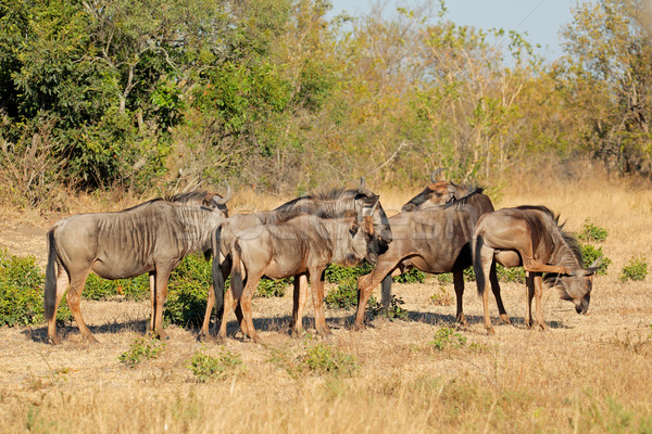 Blue wildebeest herd Stock photo © EcoPic
