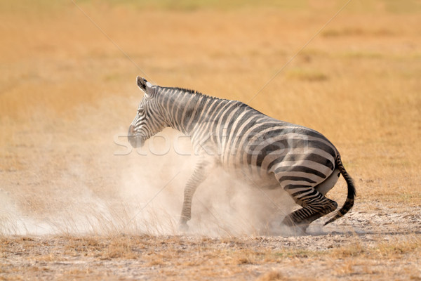 Plains Zebra in dust Stock photo © EcoPic