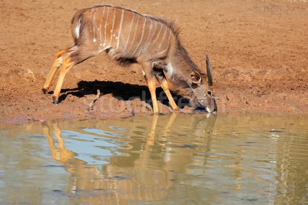 Pitnej mężczyzna woda pitna gry rezerwa Południowej Afryki Zdjęcia stock © EcoPic
