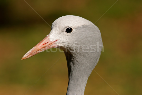 Blue crane portrait Stock photo © EcoPic