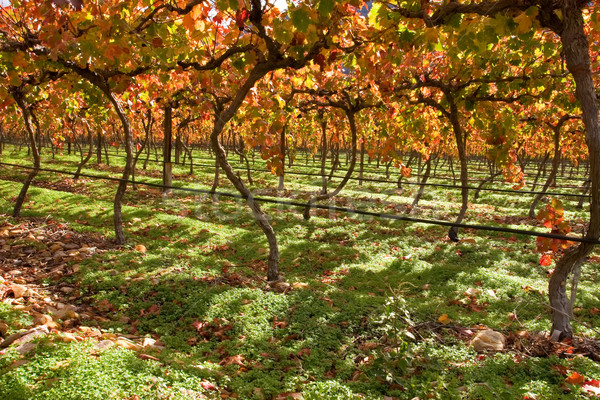 виноградник богатых осень осень цветами Кейптаун Сток-фото © EcoPic