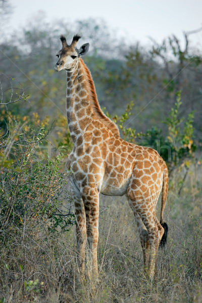 Young giraffe Stock photo © EcoPic