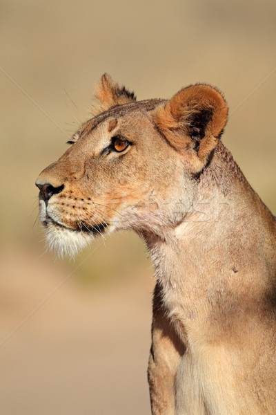 Alert lioness Stock photo © EcoPic