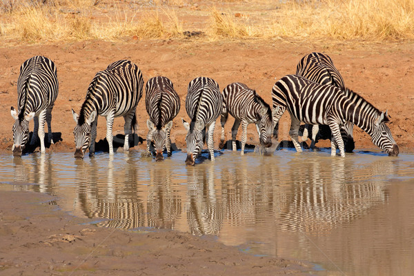 Zebra's drinkwater park South Africa water Stockfoto © EcoPic