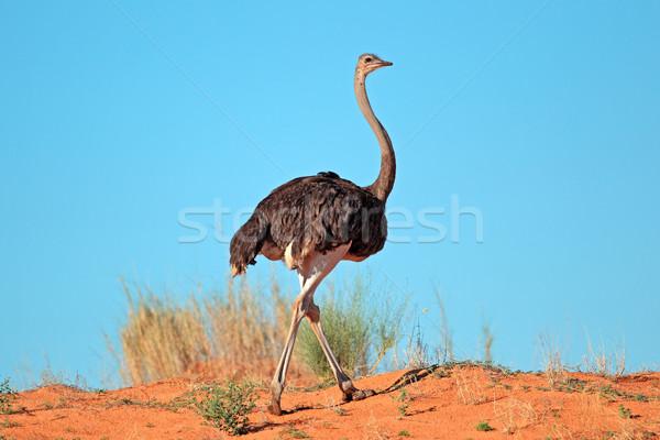 Homme autruche rouge dune de sable désert Afrique du Sud Photo stock © EcoPic